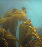 Kim Henderson - Kelp, Whale Station, Tory Channel, Marlborough Sounds